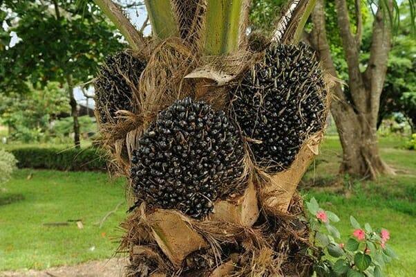 fruto palma